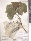 view Populus deltoides W. Bartram ex Marshall digital asset number 1