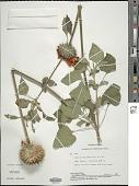 view Leonotis nepetifolia (L.) Aiton digital asset number 1