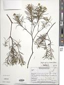 view Aspilia foliosa Benth. & Hook. f. digital asset number 1