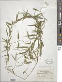 view Glossostephanus linearis (L. f.) E. Mey. digital asset number 1