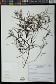 view Sebastiania salicifolia (Mart.) Pax digital asset number 1