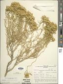 view Chrysothamnus viscidiflorus subsp. viscidiflorus (Hook.) Nutt. digital asset number 1