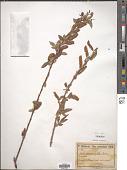 view Salix acmophylla Boiss. digital asset number 1