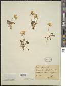 view Viola alpina Jacq. digital asset number 1