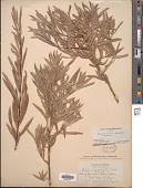 view Salix argophylla digital asset number 1