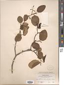view Alnus rhombifolia Nutt. digital asset number 1