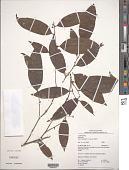 view Kubitzkia macrantha (Kosterm.) van der Werff digital asset number 1