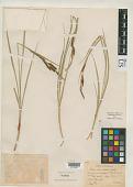view Carex rhomboidea Holm digital asset number 1