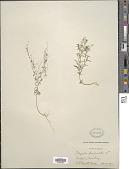 view Polygala paniculata L. digital asset number 1