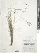 view Bulbostylis circinata (Kunth) C.B. Clarke digital asset number 1