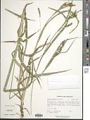 view Carex scabrata digital asset number 1