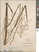 view Glyceria canadensis var. laxa (Scribn.) Hitchc. digital asset number 1