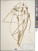 view Carex retrorsa Schwein. digital asset number 1