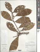 view Duroia micrantha (Ladbr.) Zarucchi & J.H. Kirkbr. digital asset number 1