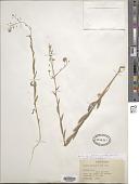 view Neslia apiculata Fisch. et al. digital asset number 1