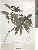 view Psychotria anceps Kunth digital asset number 1