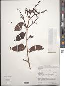 view Phthirusa squamulosa (Pohl) Klotzsch ex Eichler digital asset number 1