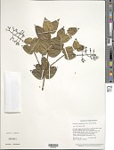 view Palicourea cardiomorpha (C.M. Taylor & A. Pool) Delprete & J.H. Kirkbr. digital asset number 1