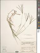 view Cynodon nlemfuensis Vanderyst digital asset number 1