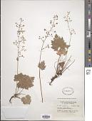 view Heuchera glabra Willd. ex Roem. & Schult. digital asset number 1
