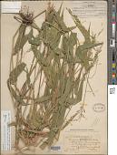 view Panicum trichidiachne Döll in Mart. digital asset number 1
