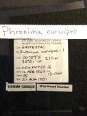 view Phronima curvipes digital asset number 1