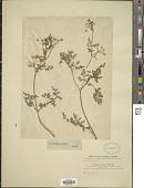 view Anthriscus cerefolium var. cerefolium digital asset number 1