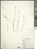 view Turnera guianensis Aubl. digital asset number 1