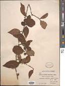 view Cotoneaster foveolatus Rehder & E.H. Wilson digital asset number 1