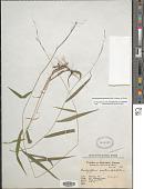 view Brachyelytrum japonicum (Hack.) Matsum. ex Honda digital asset number 1