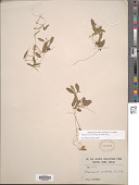 view Potamogeton cristatus Regel & Maack digital asset number 1