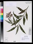 view Vernonia noveboracensis (L.) Michx. digital asset number 1