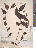 view Botryopleuron axillare (Siebold & Zucc.) Hemsl. digital asset number 1
