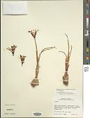 view Iris reticulata digital asset number 1