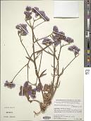 view Limonium beaumierianum (Coss. ex Maire) Maire x L. sinuatum (L.) Mill. digital asset number 1