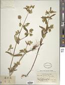 view Swertia pubescens Franch. digital asset number 1