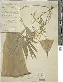 view Bambusa spinosa Roxb. digital asset number 1