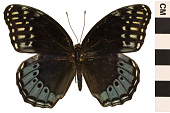 view Diana Fritillary, Brush-footed Butterfly digital asset number 1