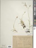 view Carex divisa Huds. digital asset number 1