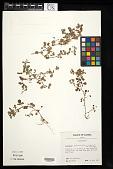 view Desmodium heterophyllum (Willd.) DC. digital asset number 1