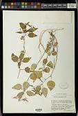 view Euphorbia xalapensis Kunth digital asset number 1