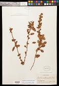 view Berberis actinacantha Mart. ex Schult. & Schult. f. digital asset number 1