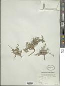 view Heliotropium marifolium J. Koenig ex Retz. digital asset number 1