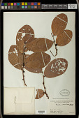 view Bridelia verrucosa Haines digital asset number 1