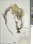 view Pityrogramma calomelanos var. aureoflava (Hook.) Weath. ex L.H. Bailey digital asset number 1