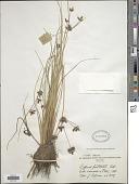 view Cyperus pustulatus Vahl digital asset number 1