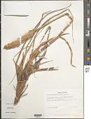 view Leymus mollis subsp. villosissimus (Scribn.) Á. Löve & D. Löve digital asset number 1