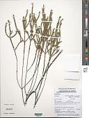 view Sauvagesia linearifolia subsp. venezuelensis Maguire & Wurdack digital asset number 1