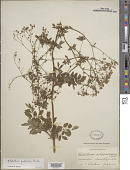 view Thalictrum pubescens Pursh digital asset number 1