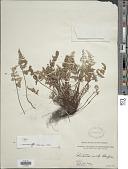 view Aleuritopteris grisea (Blanford) Panigrahi digital asset number 1